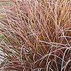 Carex comans 'Milk Chocolate'