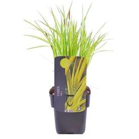 Fleur.nl - Carex elata 'Aurea'