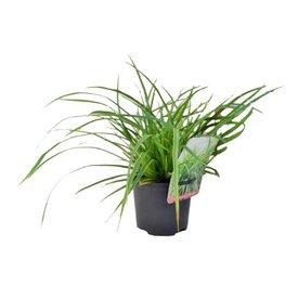Fleur.nl - Carex morrowii 'Aureovariegata'