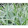 Carex morrowii 'Aureovariegata'