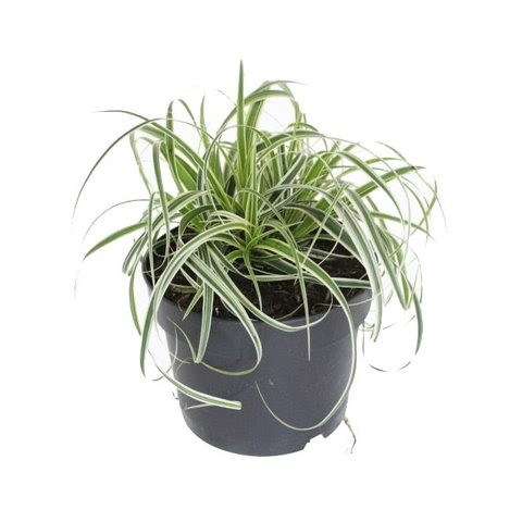 Carex oshimensis 'Fisher's Form'