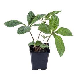 Fleur.nl - Rodgersia sambucifolia