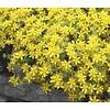 Sedum acre 'Yellow Queen' Vetkruid