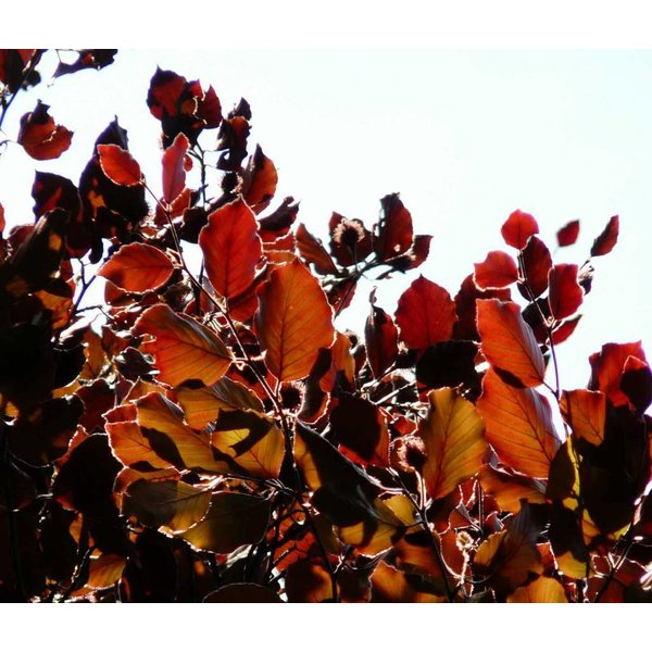 Fagus sylvatica 'Atropunicea' Rode Beukenhaag