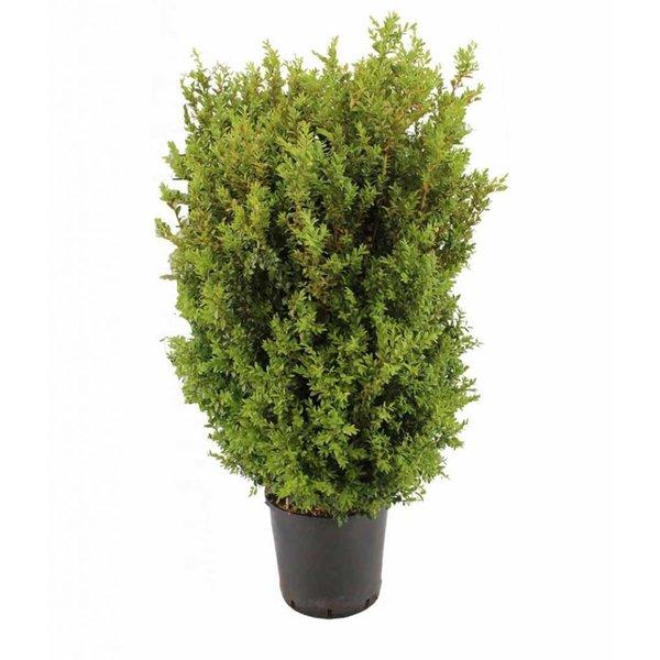 Buxus sempervirens Buxushaag