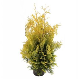 Fleur.nl - Thuja occidentalis 'Yellow Ribbon'
