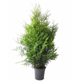 Fleur.nl - Thuja occidentalis 'Frieslandia'