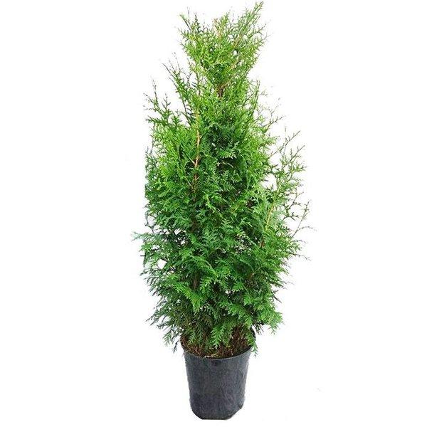 Thuja plicata 'Gelderland' Reuzenlevensboom