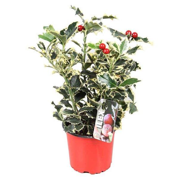 Ilex aquifolium 'Argentea Marginata' Hulst