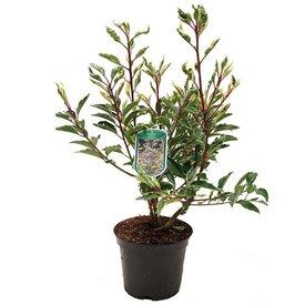 Fleur.nl - Prunus lusitanica 'Variegata'