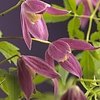 Clematis alpina 'Ruby'