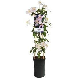 Fleur.nl - Clematis montana 'Fragrant Spring'