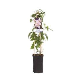 Fleur.nl - Clematis montana 'Mayleen'