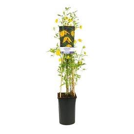 Fleur.nl - Clematis tangutica