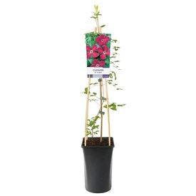 Fleur.nl - Clematis viticella 'Rubra'