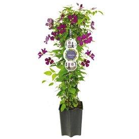 Fleur.nl - Clematis 'Etoile Violette'