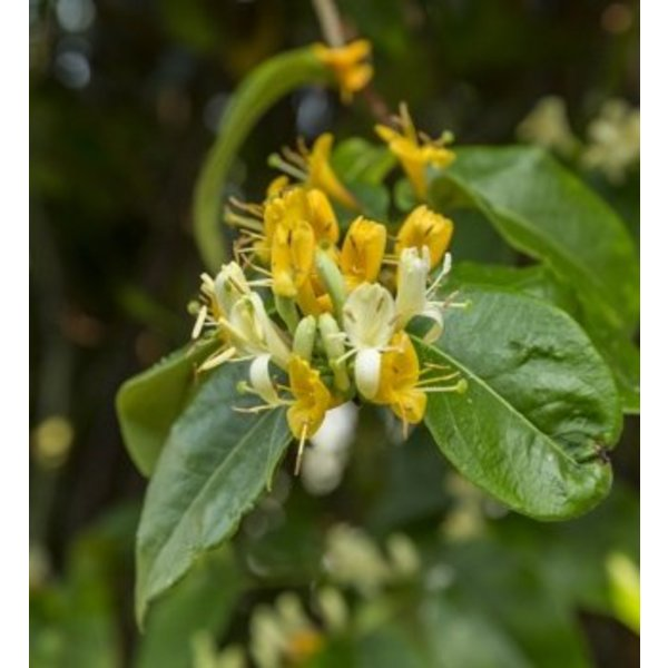 Lonicera henryi 'Copper Beauty' Kamperfoelie