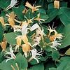 Lonicera japonica 'Hall's Prolific' Kamperfoelie