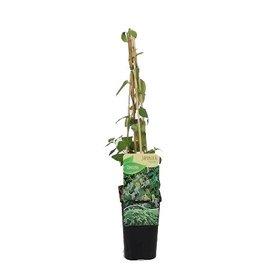 Fleur.nl - Lonicera japonica 'Halliana'