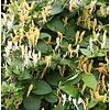 Lonicera japonica 'Halliana' Kamperfoelie