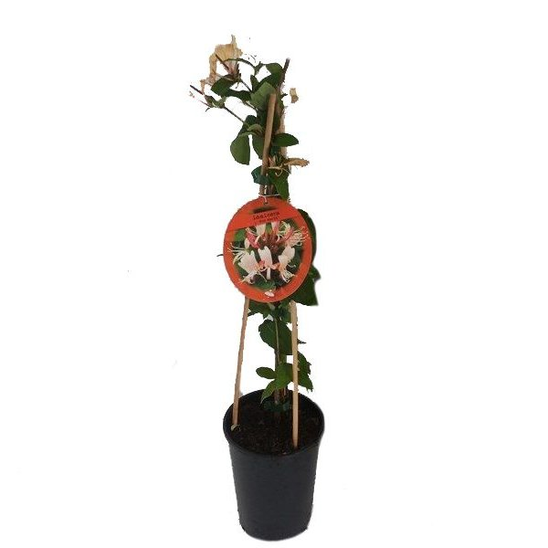 Lonicera japonica 'Red World' Kamperfoelie