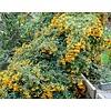 Pyracantha 'Golden Charmer' Vuurdoorn