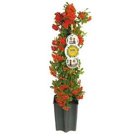 Fleur.nl - Pyracantha 'Mohave'