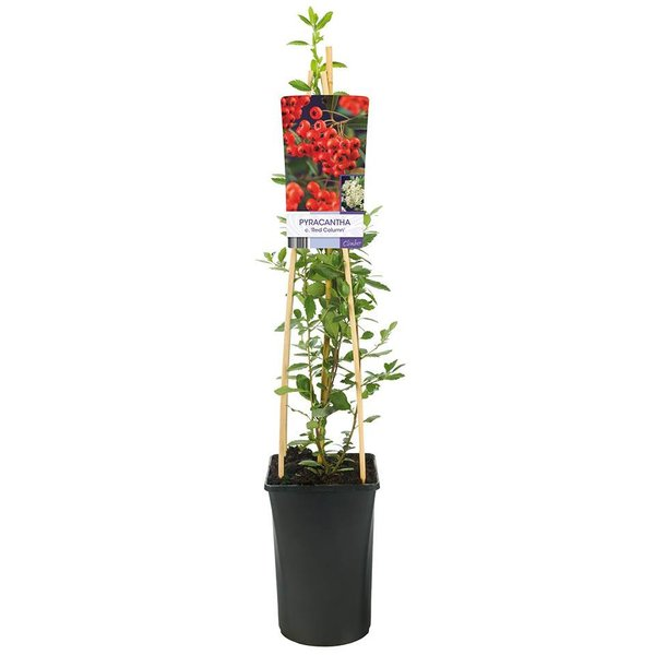 Pyracantha coccinea 'Red Column' Vuurdoorn