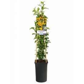 Fleur.nl - Pyracantha coccinea 'Soleil d'Or'