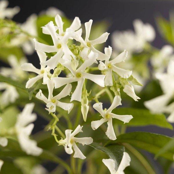 Trachelospermum jasminoides Italiaanse Jasmijn