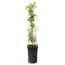 Fleur.nl - Trachelospermum jasminoides 'Italiaanse Jasmijn'