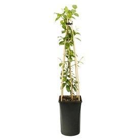Fleur.nl - Trachelospermum jasminoides 'Star of Toscane' Gele jasmijn