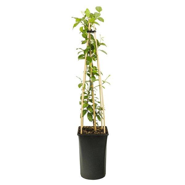 Trachelospermum jasminoides 'Star of Toscane' Gele Jasmijn