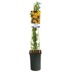 Fleur.nl - Jasminum nudiflorum