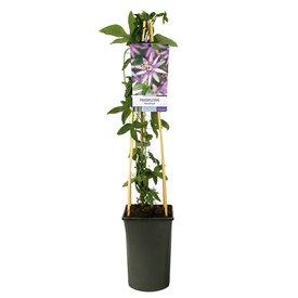 Fleur.nl - Passiflora 'Amethyst'