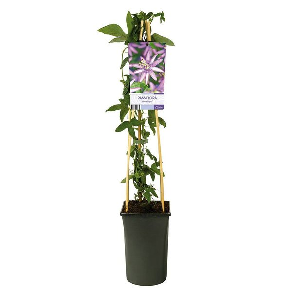 Passiflora 'Amethyst' Passiebloem