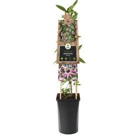 Fleur.nl - Passiflora 'Victoria'