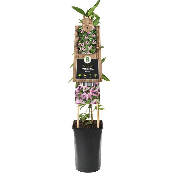 Passiflora 'Victoria' Passiebloem