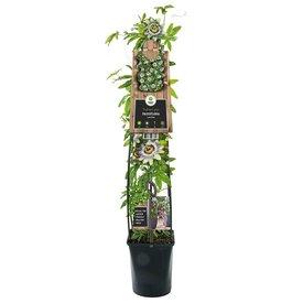Fleur.nl - Passiflora caerulea