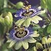 Passiflora caerulea Passiebloem