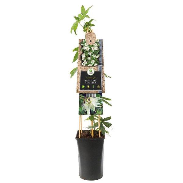 Passiflora caerulea 'Constance Elliot' Passiebloem
