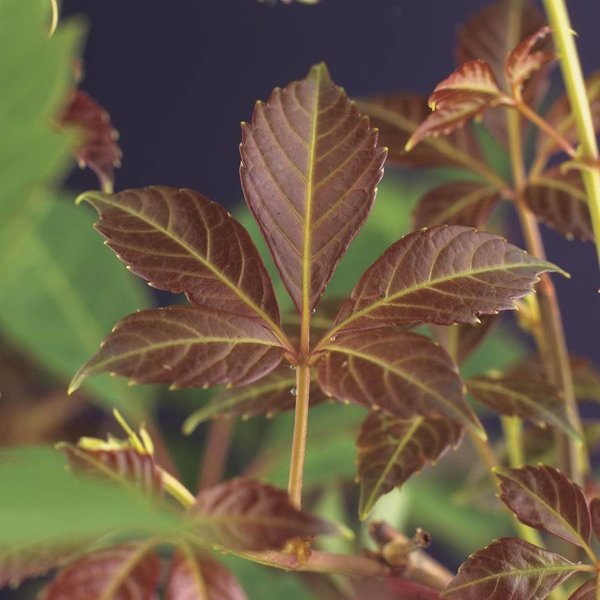 Parthenocissus henryana Wilde Wingerd