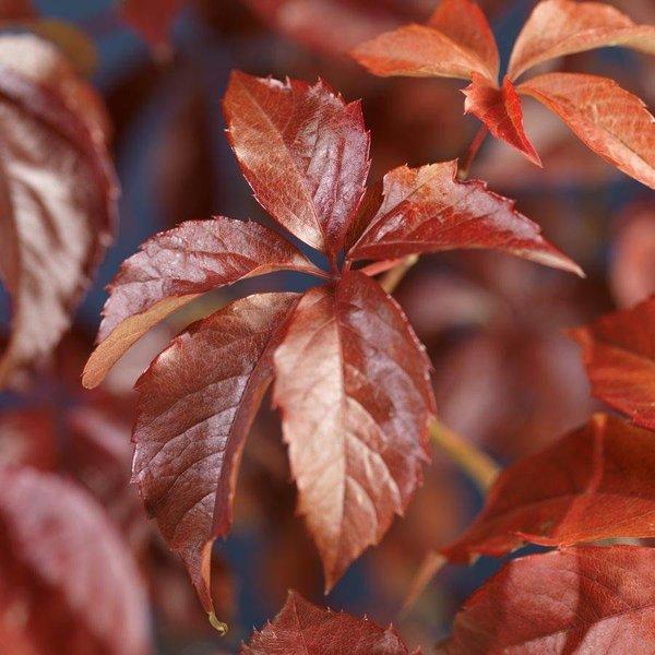 Parthenocissus quinquefolia Wilde Wingerd