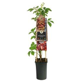 Fleur.nl - Parthenocissus quinquefolia