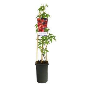 Fleur.nl - Parthenocissus quinquefolia 'Engelmannii'