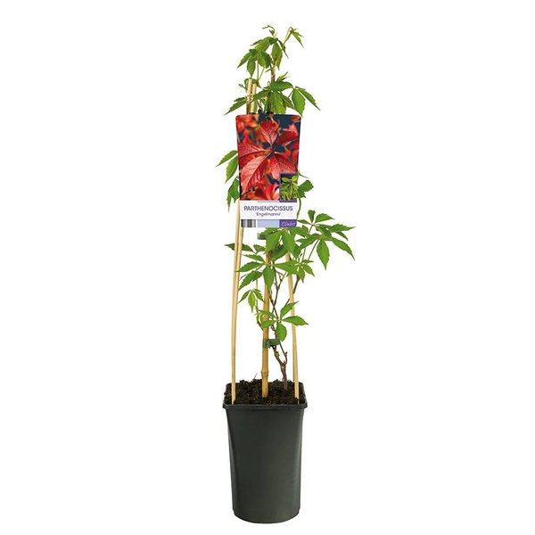 Parthenocissus quinquefolia 'Engelmannii' Wilde Wingerd