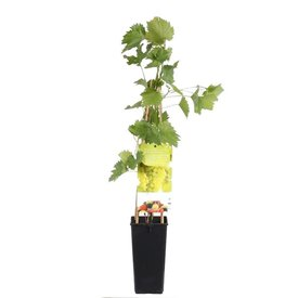 Fleur.nl - Vitis vinifera 'Bianca'
