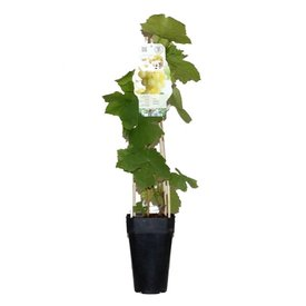 Fleur.nl - Vitis vinifera 'Himrod' pitloze druif