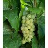 Vitis vinifera 'Himrod' Witte druif