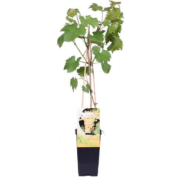 Vitis vinifera 'Muscat van Alexandria' Witte druif